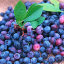 Ripe blueberries in a pile