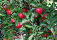 Closeup picture of red apples hanging in a tree
