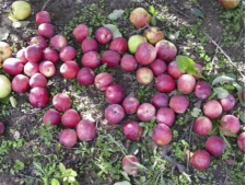 apples_on_ground-IMG_5565-225px