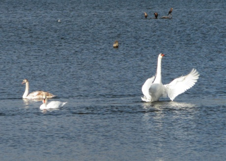 Flapping swans on the water
