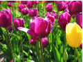 Purple and yellow tulips - Holland, Michigan
