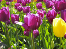 Purple Tulips at Tulip Time in Holland, Michigan